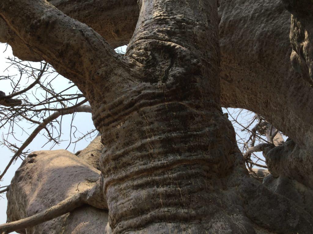 Baobab trunk