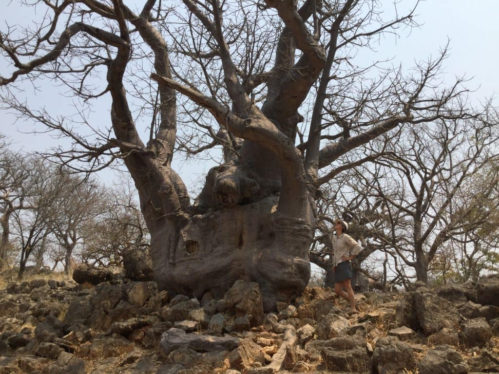 Baobab tree enroute to Etosha National Park