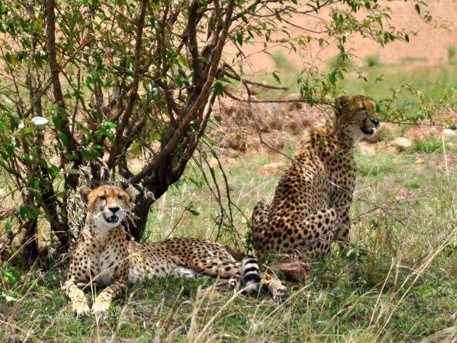 Cheetah Sightings in Kenya Safari