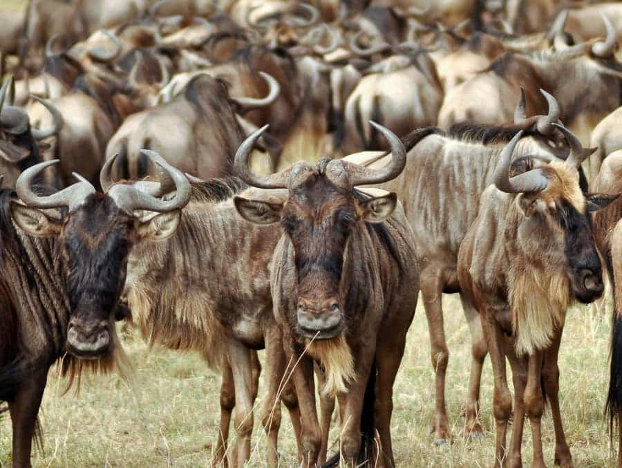 Horde of Wildebeest in Kenya Safari