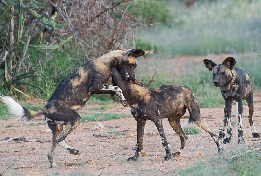 Wild Dogs in Kenya Safari