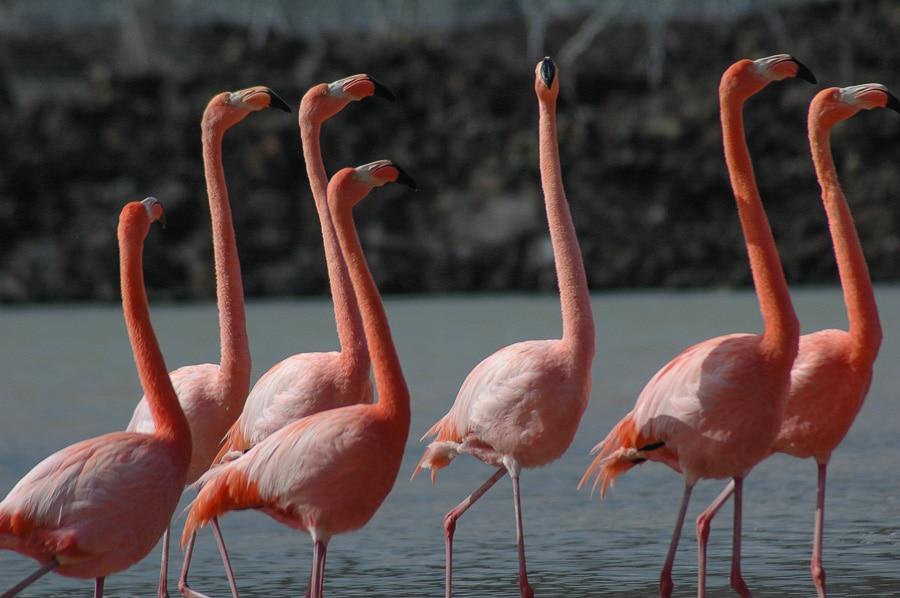 Cute Pink Flamingos in Galapagos