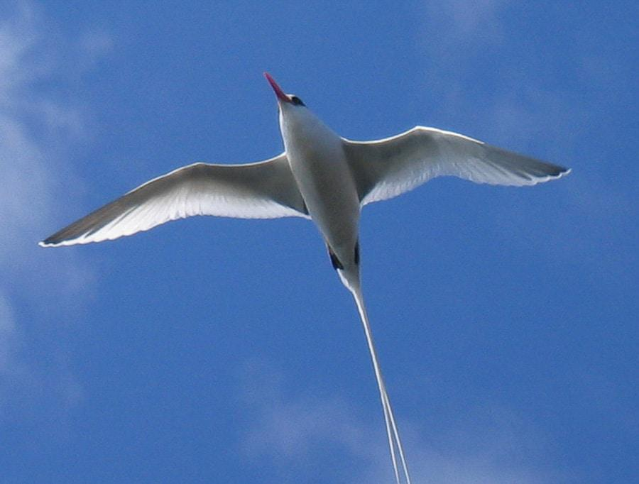 Red Billed Tropicbird in Galapagos