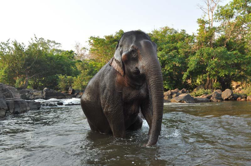 Elephant Taking A Bath in Laos