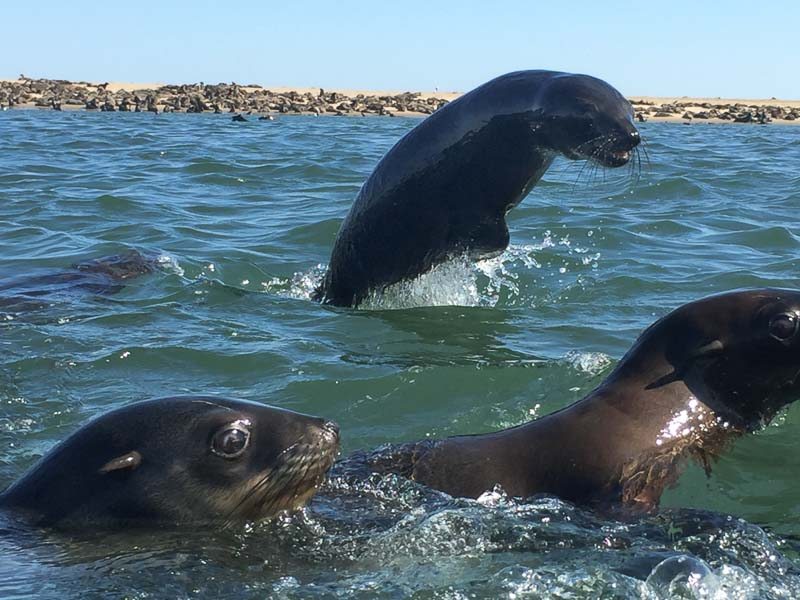 Active Sea Lions in the Coast