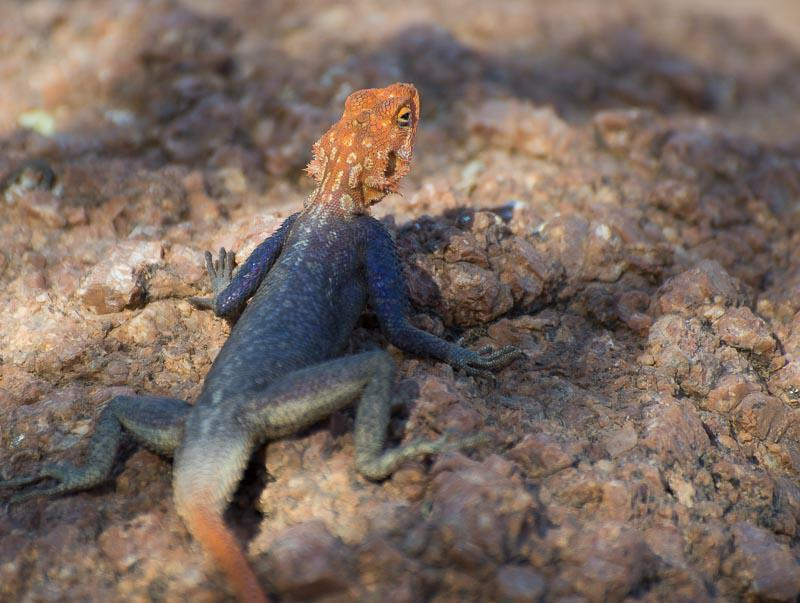 Common Reptiles in Namibia Safari