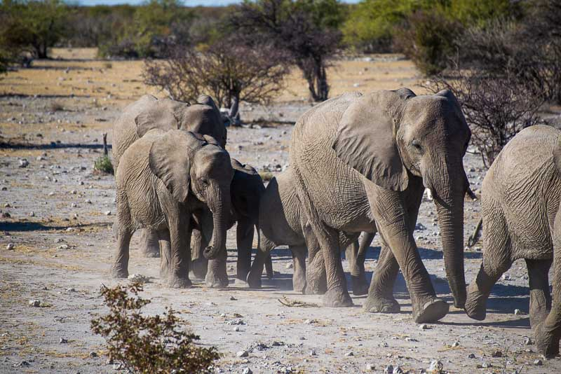 Group of Elephants in Namibia Safari