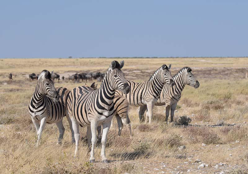 Zebras in Namibia Safari