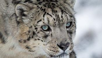 hidden-places-travel-snow-leopard-2