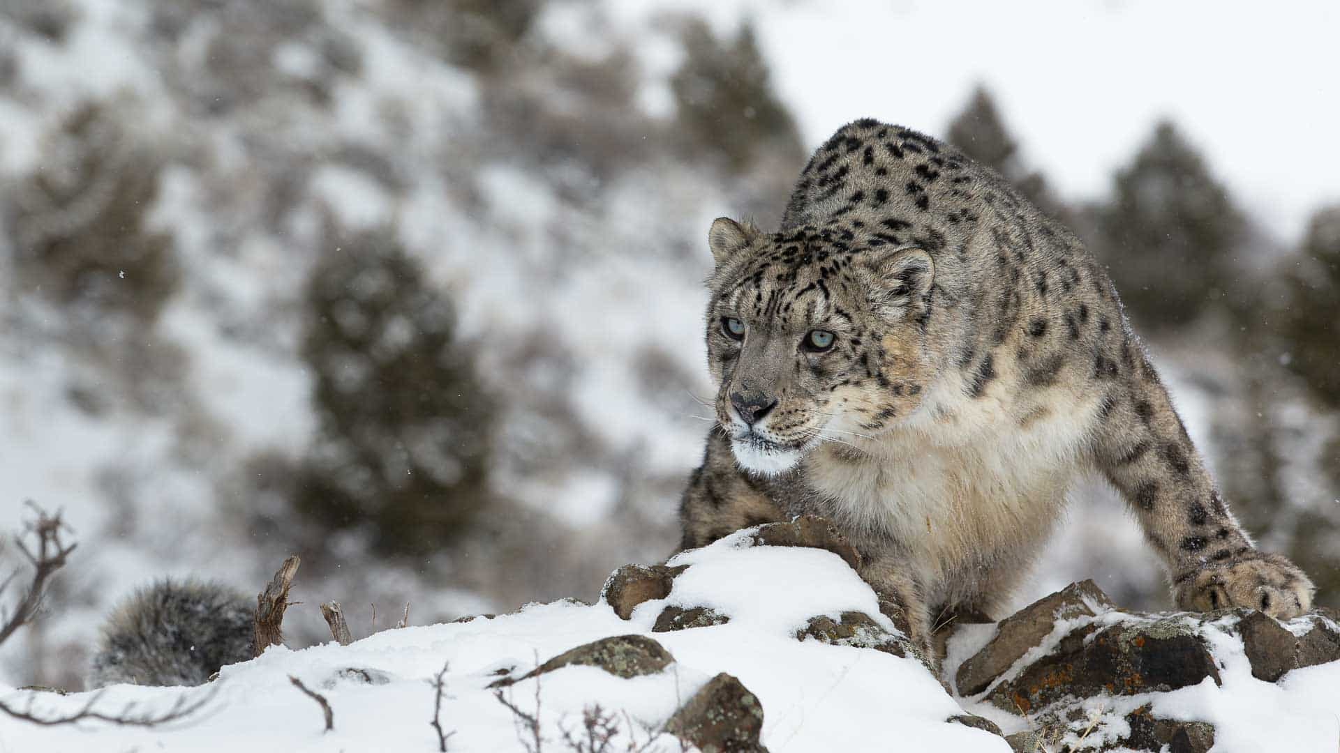 hidden-places-travel-snow-leopard