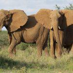 Elephants in African Safari