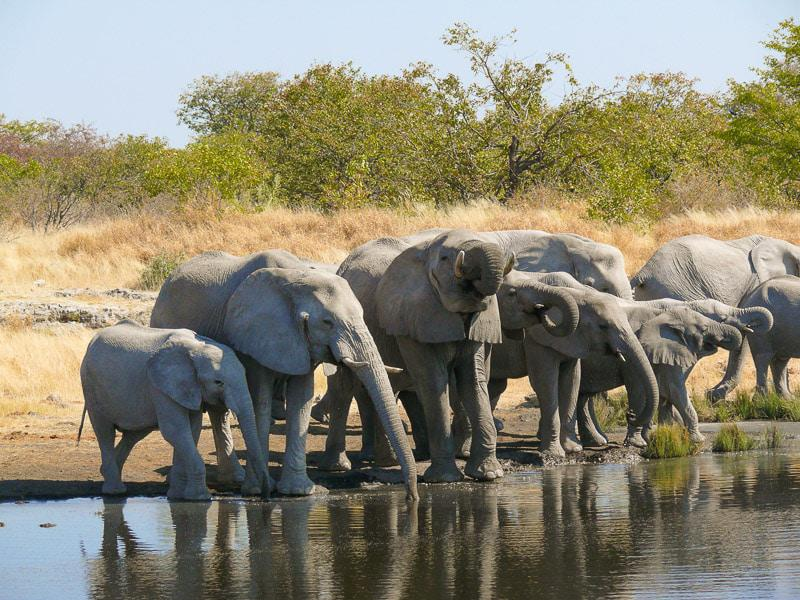 Drinking Elephants in Namibia Safari