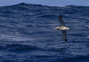 Albatross and waves, Drake Passage.